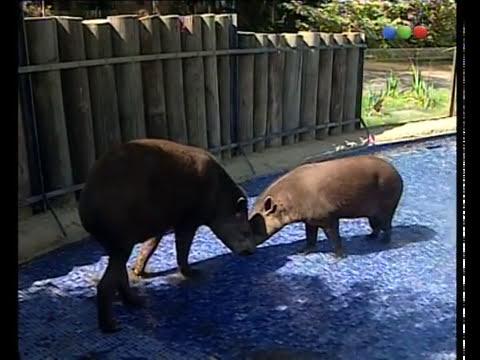 Tapires - Zoo Bichos