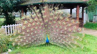 Peacocks dance in London Brooks Farm