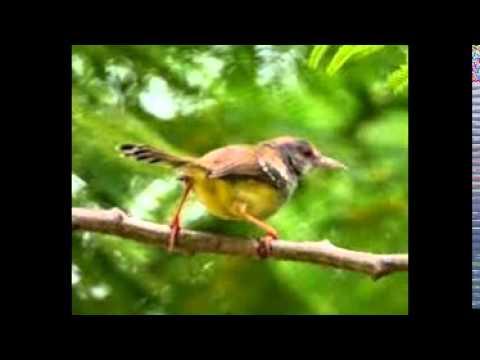 Kicau Burung Prenjak Betina Gacor Receh video