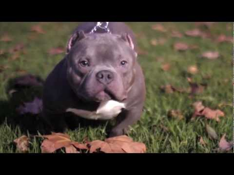 BELLAGIO quot  2X MR MIAGI 10 MONTHSKarate Kid American Bully