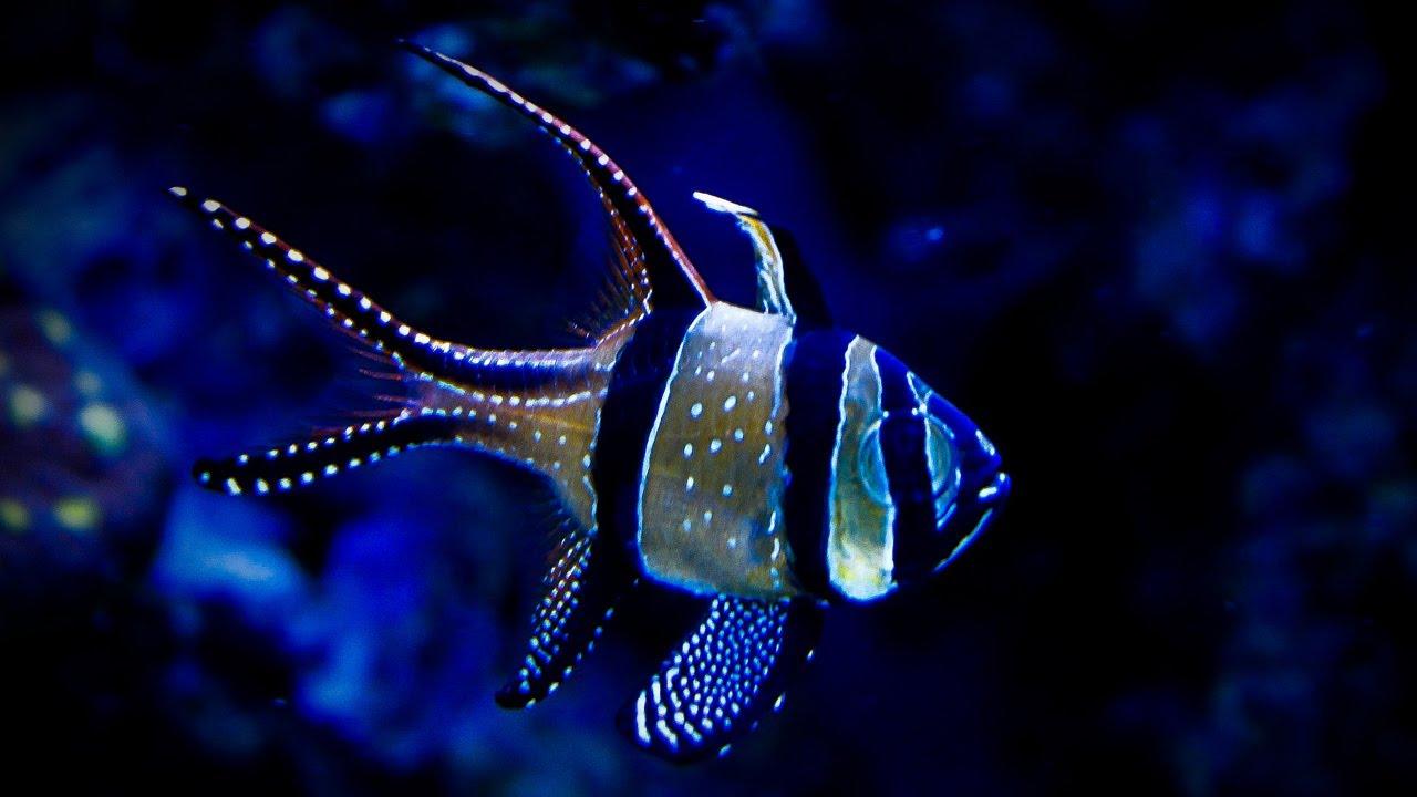 banggai cardinalfish - photo #36