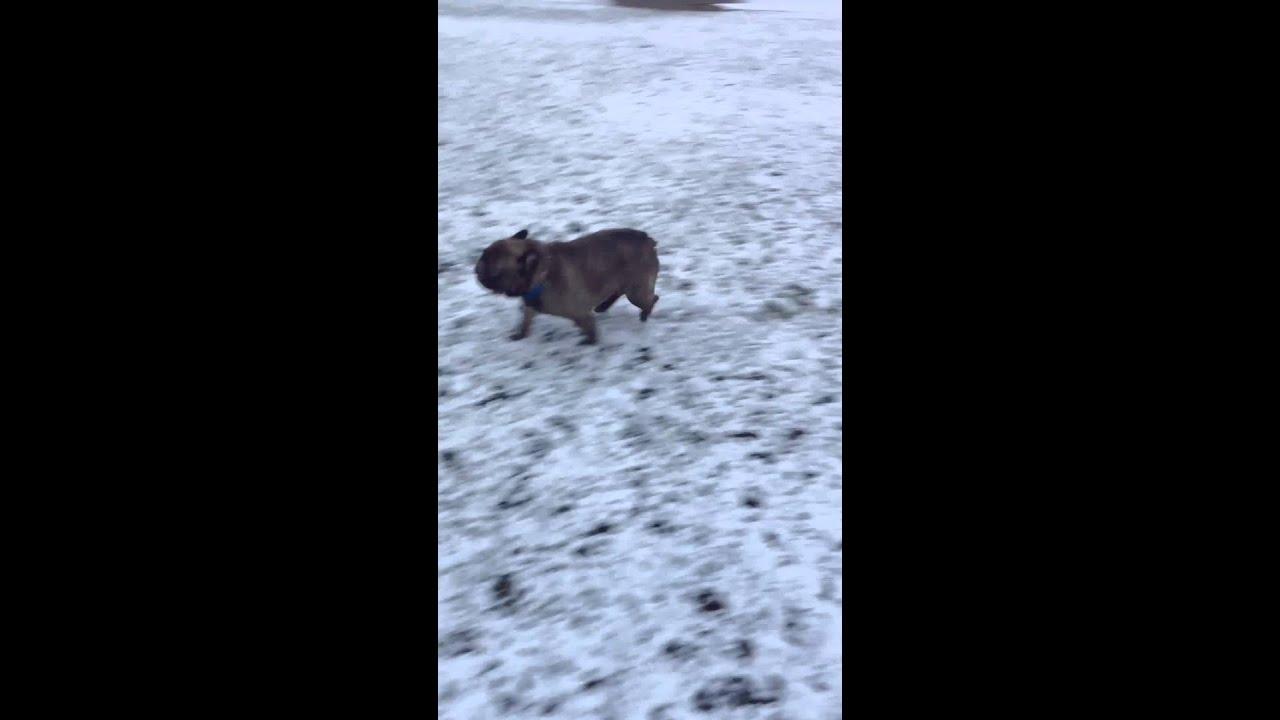 Így siklik a havon a lelkes bulldog - videó