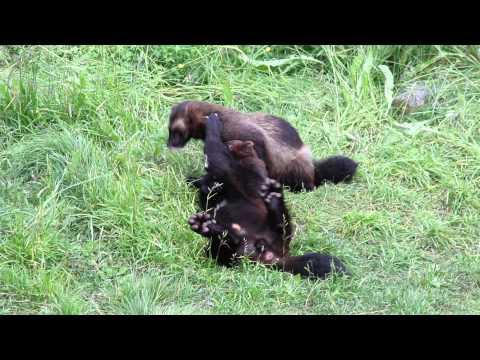 Ranua Wildlife Park - Wolverine