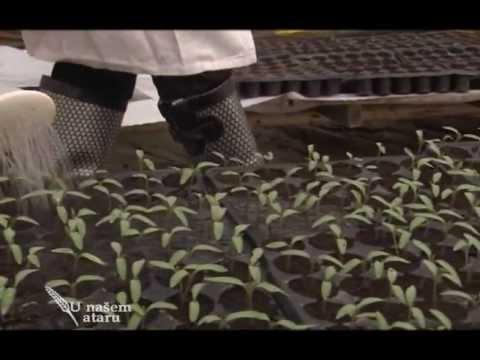 Prihrana rasada u pocetnim fazama razvica, Agromarket - U nasem ataru 420.wmv