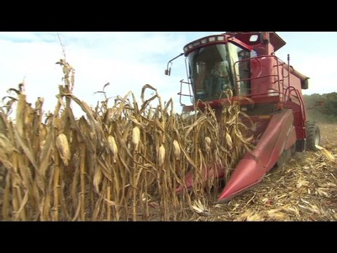 Monsanto: Corn crop pain