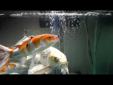ButterFly Koi Fish tank update