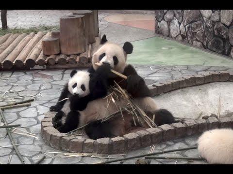 パンダの桜浜&桃浜☆やっぱりママのとなり♪ Giant panda baby