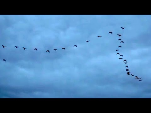 Flock of Ibis Birds (Threskiornis moluccus) - Australian White Ibis Birds flying in formation