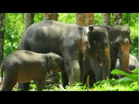 anak gajah tangkahan.AVI
