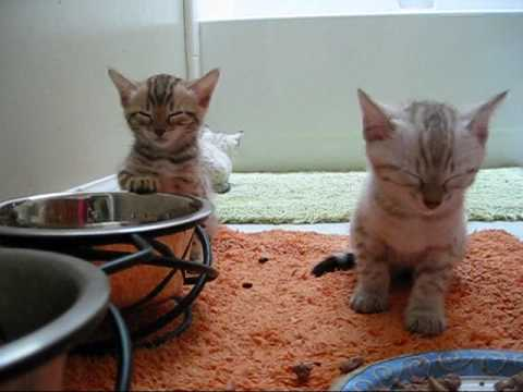 Tiny bengal kittens for sale