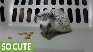 Curious hedgehog closely investigates camera