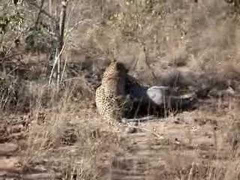 Leopard kills Warthog at Sabi Sands