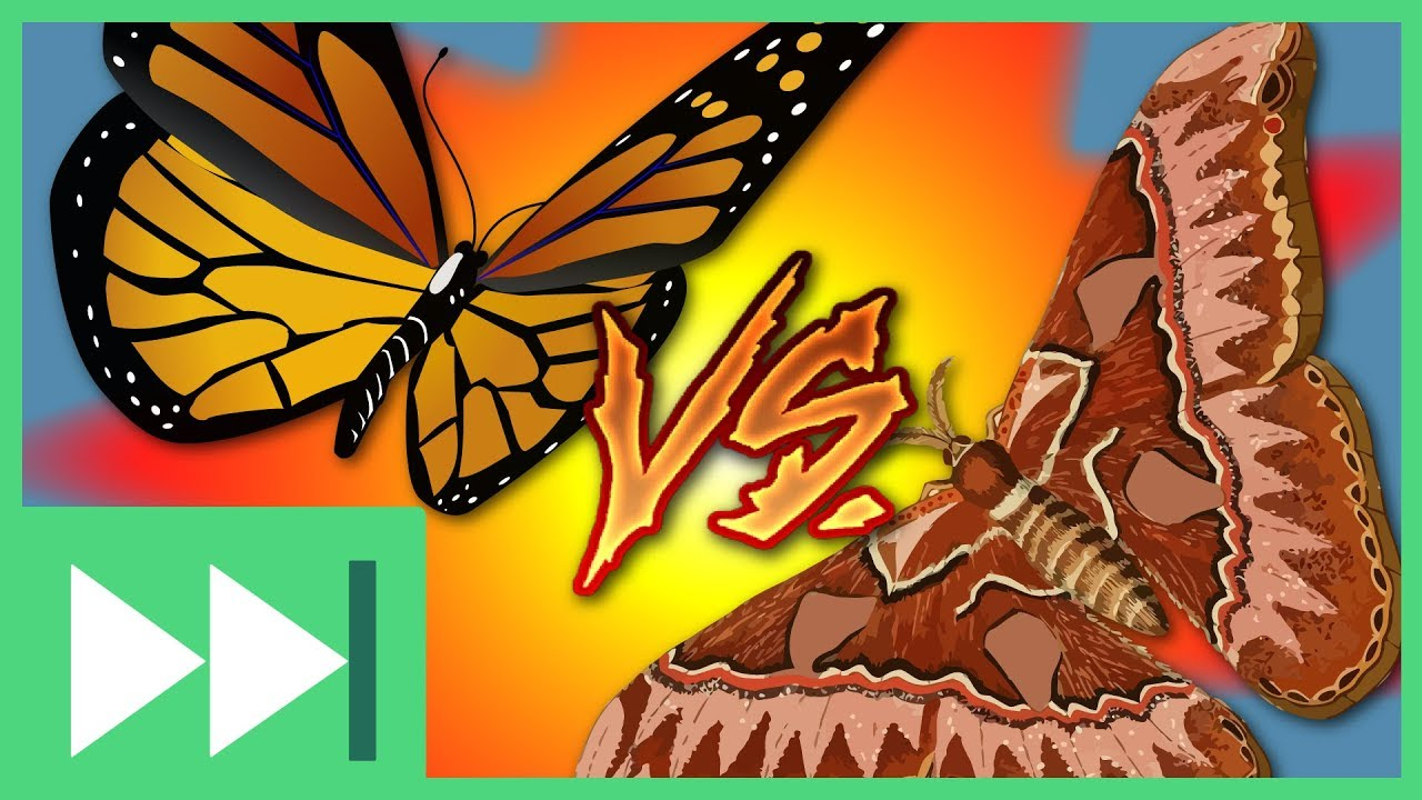 butterflies versus moths