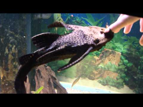 'Friendly' Sailfin Pleco