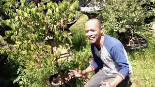 BONSAI BONSAI RAKSASA Mengenal 19 Jenis Bonsai Populer