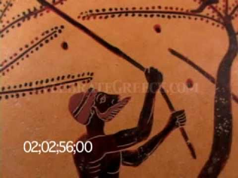 0691 Black figure amphora depicting olive tree (olives) harvest & laborers