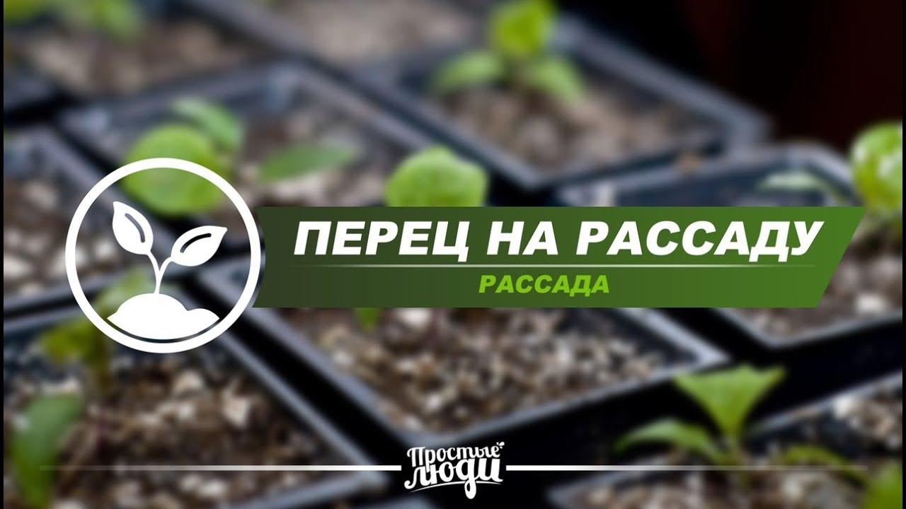 Как прорастить семена перца на рассаду 73