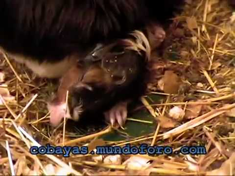 Nacimiento de 5 cobayas - Cavies' birth - Guinea pigs' birth