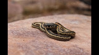 Colorado Herping - The Wild West Slope