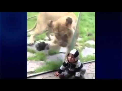 Hayvanat bahçesinde dehşet anları! Çocuğu yemeye çalışan aslan