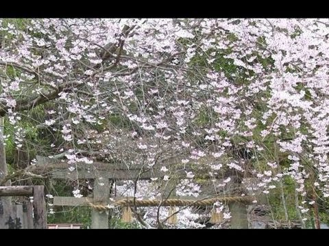 京都 熊野若王子神社の桜 Cherry blossoms in Kumano-Nyakuoji-Jinja Shrine(2013-03)
