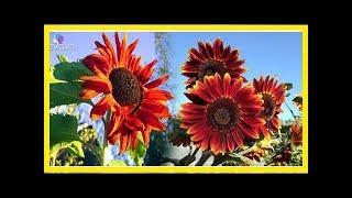 """""""Cơn sốt"""" hoa hướng dương đỏ rực: Chị em săn """"của lạ"""" trồng sau Tết - Quỳnh Kool - Làm Đẹp Tự Nhiên"""