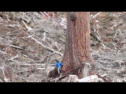 """""""Big Lonely Doug"""" - Canada's 2nd Largest Douglas-fir Tree"""