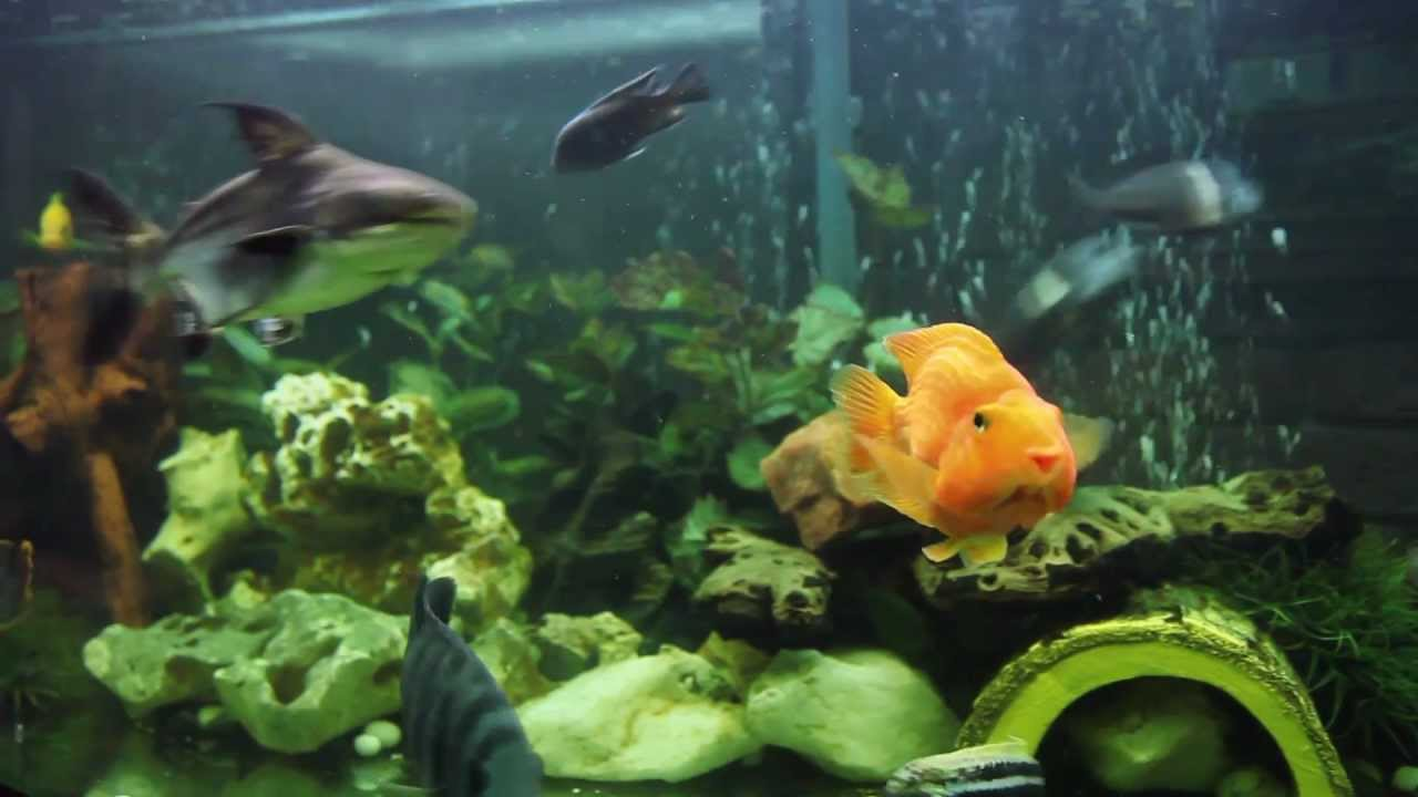 Cichlid fish in community aquarium tank hd canon 5d for Good community fish