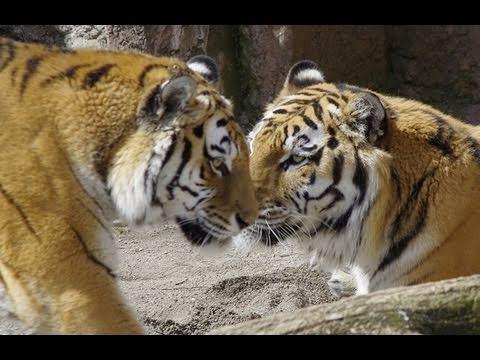 アムールトラの交尾~Amur Tigers mating