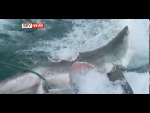 Un requin blanc s'est fait tués par un Enorme requin ! (Megalodon ou pas ?)