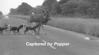 Wild Dogs Eat Kudu Alive