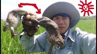 Hành Trình Đi Bắt Ếch Đồng Ngoài Ruộng Lúa | Amazing Boy Catch Frog By Hand .Thế Giới Động Vật