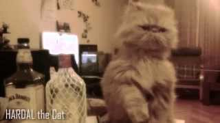 Funny Cat Video - Hardal the Cat