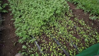 CROP FOCUS: Red Russian Kale