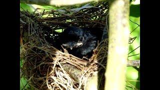 Phát Hiện Tổ Chim Chèo Bẻo Quý Hiếm Sau Hơn Ba Thang Tìm Kiếm Vất Vả vào rừng tập 5