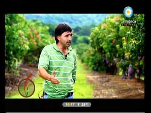 Desde la tierra: cultivo de Mango y Kiwi - 28-02-11 (2 de 4)