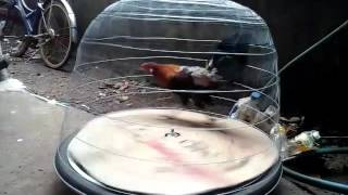 Máy chạy tập thể lực cho gà