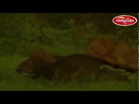 LION & BUFFALO FIGHT / INTERESTING VIDEO