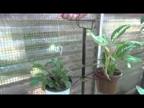 COMIGO-NINGUÉM-PODE, uma planta poderosa.
