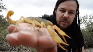 Largest Scorpion in USA - The Giant Desert Hairy Scorpion