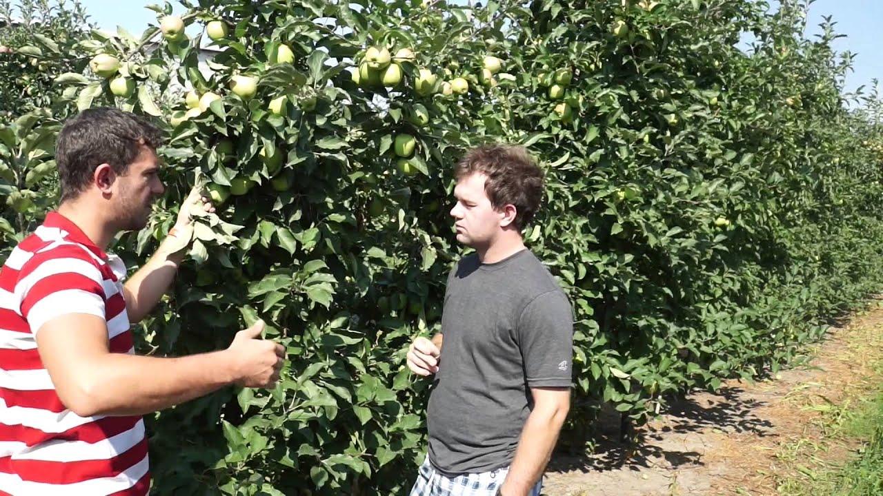 jędrność owoców, wapń w roślinach dowiedz się o co chodzi, nawozy dolistne, uprawa jabłek, gpp, auksyny, biocal, zapylacze, forum sadownicze, pąki boczne, pąki królewskie, retardowanie