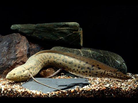 Редкая рыба из озера Чад, Протоптерус бурый, Protopterus annectens
