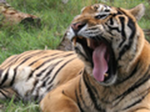 500lb TIGER GETS NEUTERED! - Big Cat TV