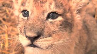 3 Week Old Lion Cubs @ The Maryland Zoo
