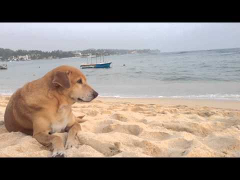 Dogs Relax In Sri Lanka video