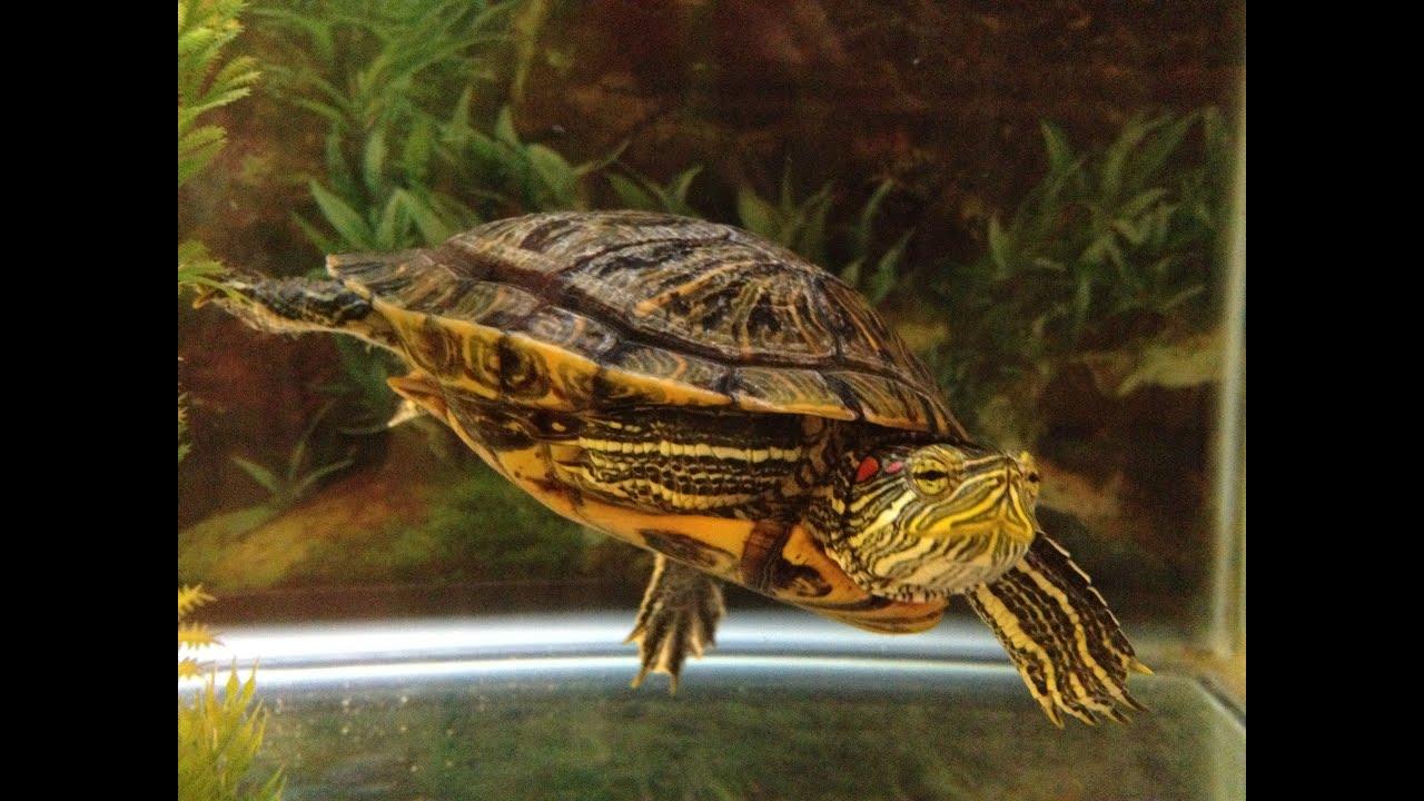 Содержание водной черепахи в домашних условиях 81