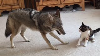 Coyote Plays With Cat