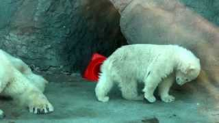 The polar bear twin cubs wrestle with each other at Moscow Zoo