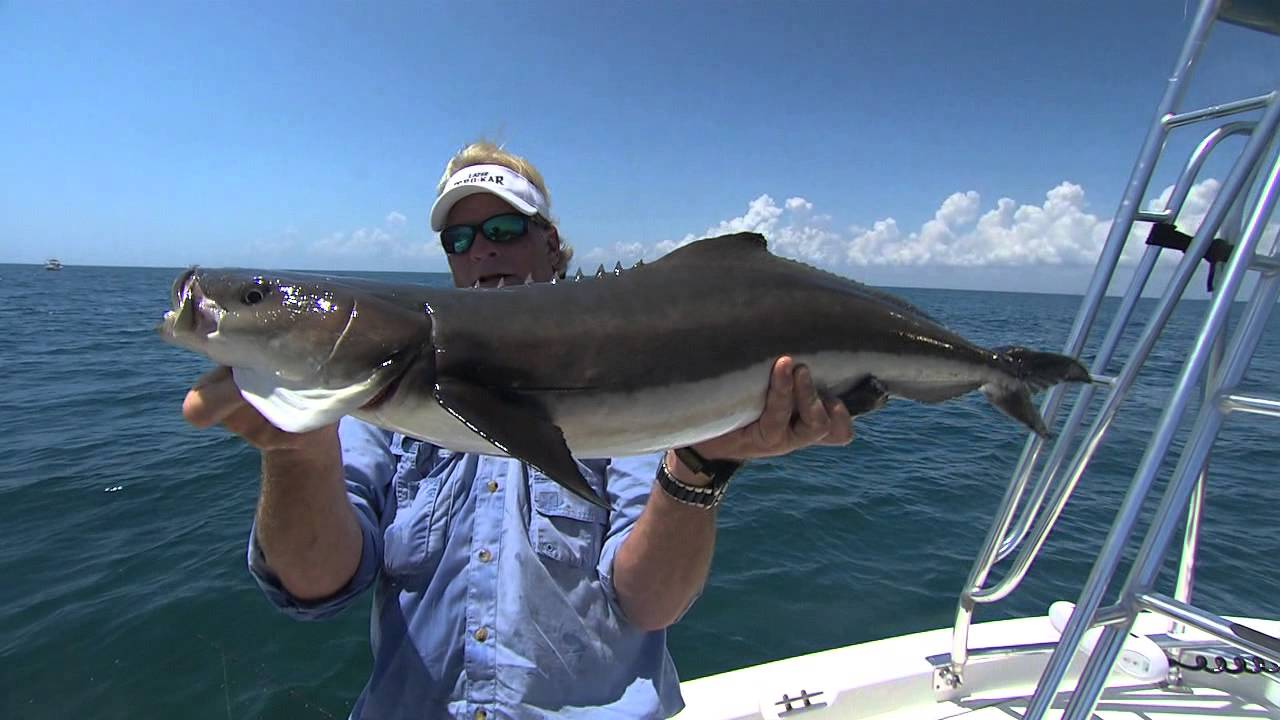 Cobia fishing in cape canaveral florida fishing box for Cape canaveral fishing