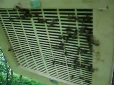 Пчеловодство. Роевня-роесниматель.